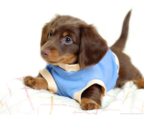 Datsun Puppies by 7 Interesting Facts About The Dachshund Animalso