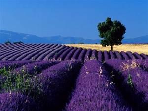 Lavendel Wann Schneiden : lavendel im garten lavendel garten mit weinberg stockbild ~ Lizthompson.info Haus und Dekorationen