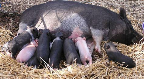 kids photo    sow  piglets