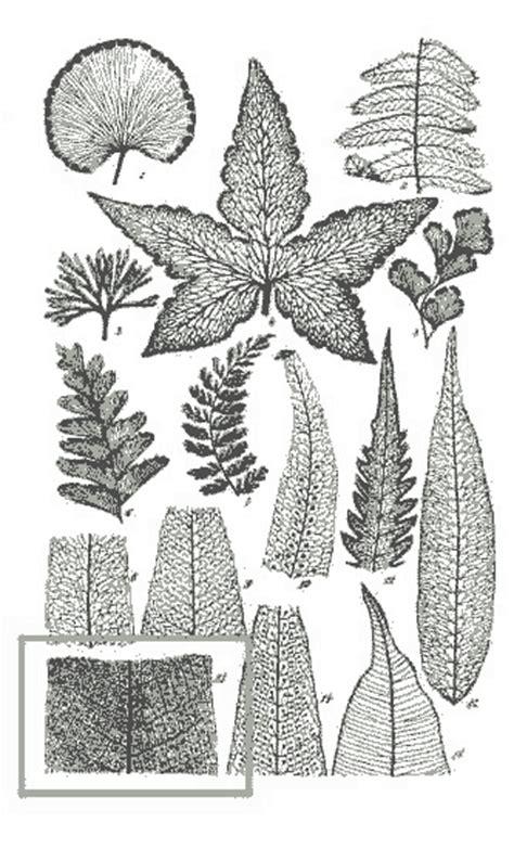 palpak lawin drynaria quercifolia philippine medicinal