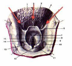 Anatomy of the larynx Flashcards | Quizlet