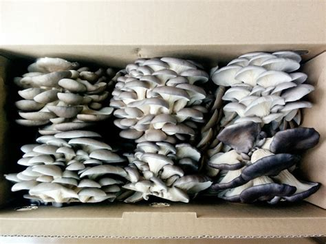 cuisiner pleurotes grises agriculture urbaine durable culture de chignons la