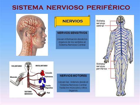 sistema nervioso parasimpatico  es funciones  mas