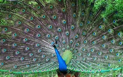 Indian Peafowl Wallpapers Peacock Windows Bird Desktop