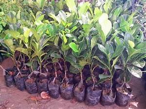 Jack_fruit_plant_picture