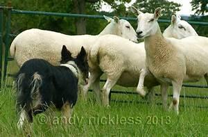 Sheepdog Training 15 – What Does a Sheepdog Do?