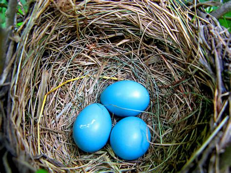 Some Chickens Lay Blue Eggs, Scientists Explain Why