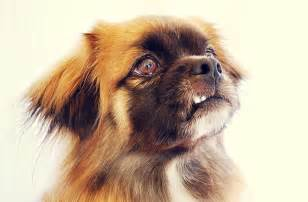 Big Non Hypoallergenic Dogs by Tibetan Spaniel Puppy Dog Tibetan Happiness Pinterest
