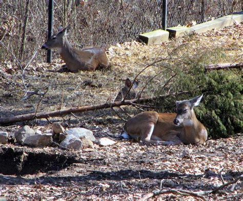 woodlands nature station deer pictures genuine kentucky
