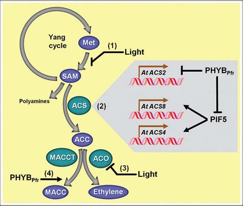 frontiers shedding light  ethylene metabolism