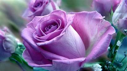 Rose Purple Roses Flowers Wallpapers Background Pink