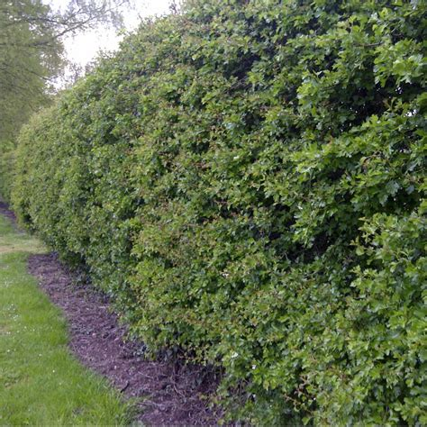 hedge plants crataegus monogyna buy hawthorn hedging plants