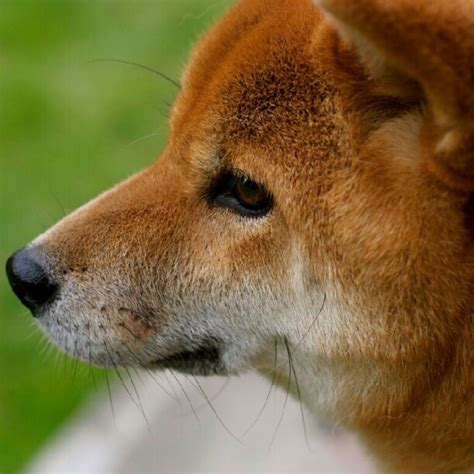 Do Akitas Shed Hair by 1000 Images About Shiba Inu S On Akita