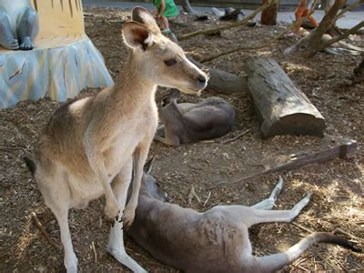 kangaroos  dreamworld photograph kangaroos
