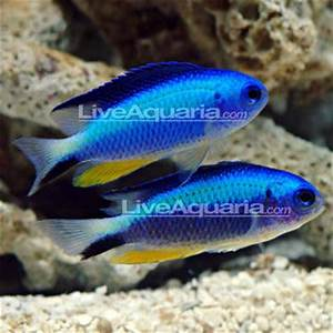 Neon Damselfish Colour