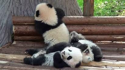 Panda Cute Cubs Three Insanely China Chengdu