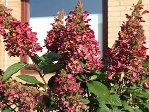 Hortensie Wims Red : rispenhortensie 39 wims red 39 hydrangea paniculata 39 wims ~ Michelbontemps.com Haus und Dekorationen