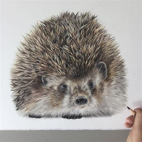 hedgehog colors colored pencils realistic animal drawings animal