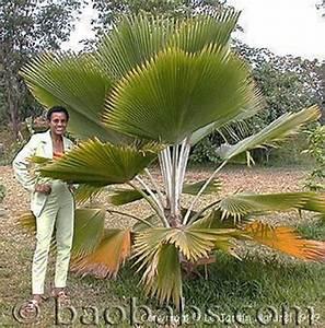 Palmenarten Für Draußen : tropische palmen ~ Michelbontemps.com Haus und Dekorationen