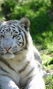 White tiger wallpaper by Havoc-elite on deviantART | Tiger ...