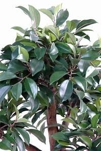 Arbre D Intérieur : bonsa artificiel arbre miniature ficus en coupe plante d 39 int rieur cm ~ Preciouscoupons.com Idées de Décoration