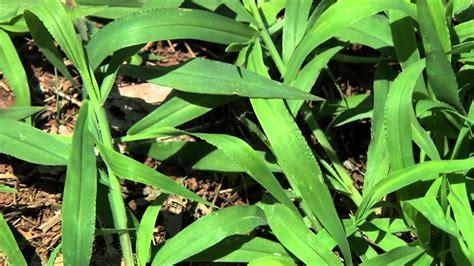 Goosegrass And Crabgrass