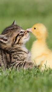 Baby duck and baby tabby kitten in the grass, so much ...
