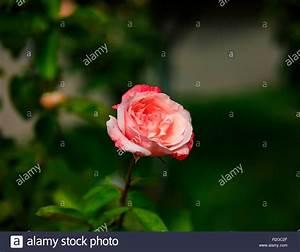 Grün Auf Englisch : big rose auf gr n mit dunklem hintergrund natur makro herbst foto stockfoto bild 225324807 ~ Orissabook.com Haus und Dekorationen