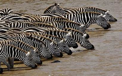 Zebra Zebras Wallpapers Mara Masai Backgrounds Reply