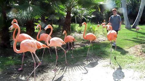 Jungle Gardens Sarasota by A Parade Of Flamingos At Sarasota Jungle Gardens