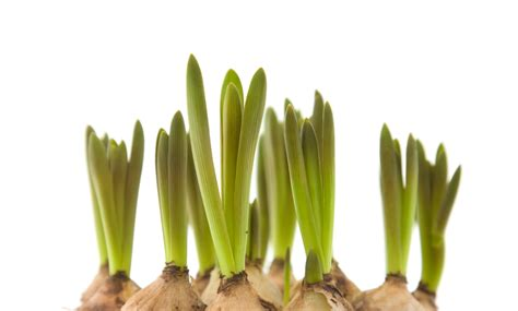 forced bulbs diy force flower bulbs and seeds to beat the winter blues inhabitat green design
