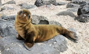 Baby Seal Galapagos Islands