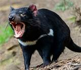 The tasmanian devil is not just a looney tunes cartoon character! Tasmanian Devil Is More Than Just a Cartoon Character - Page 2 - Animal Encyclopedia