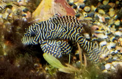 types  plecos  stay small  pictures