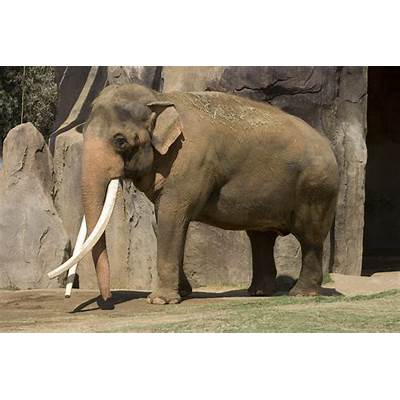 Asian Elephant Fact Sheet