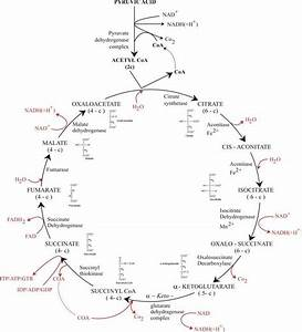 Citric Acid Cycle Or Krebs Cycle Or Tricarboxylic Acid