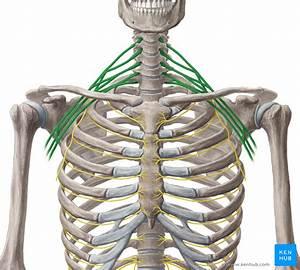 Brachial Plexus