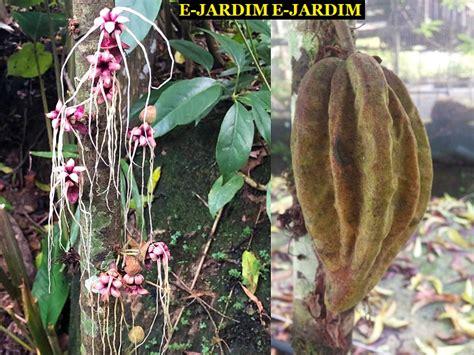 Viveiro Ciprest - Plantas Nativas e Exóticas: Cacau Jacaré ...