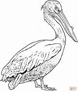 Pelican Coloring Pages Realistic Pelicans Drawing Bird Supercoloring Printable Drawings Super Birds Crafts Easy Template Adult Animal Watercolor Bible Nature sketch template