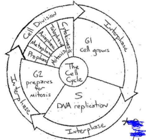 cell cycle coloring diagram middle school worksheet