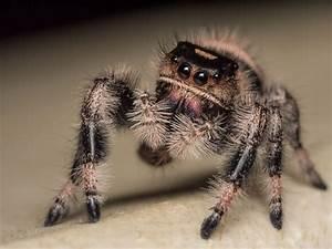 Faire Fuir Les Araignées : kim l 39 araign e sauteuse qui intrigue les chercheurs britanniques easyvoyage ~ Melissatoandfro.com Idées de Décoration