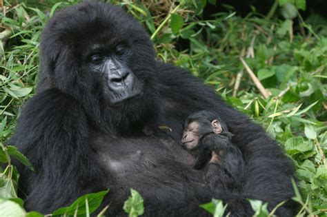 Mountain Gorilla Facts | Endangered Animals
