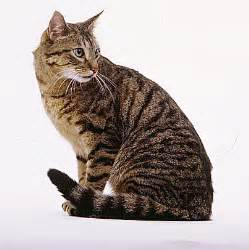 what is a tabby cat brown tabby cat cats tabby cats and cat