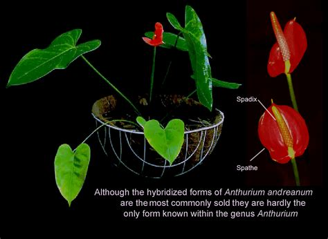 anthurium anthurium species how to grow an anthurium anthurium house plant care cultivate