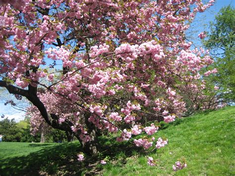 flowering trees pink blossoms 301 moved permanently