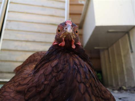 psbattle  angry chicken photoshopbattles