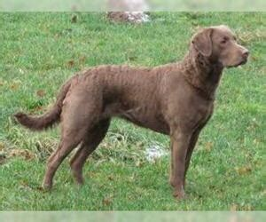 chesapeake bay retriever breed information  pictures