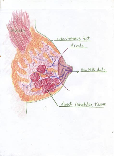 Lactating Breast Normal