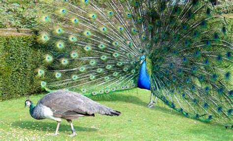 how do peacocks mate and reproduce joy of animals