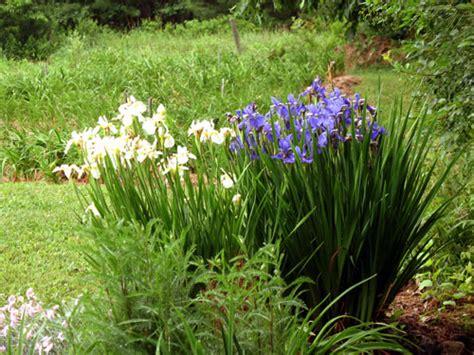 retardant plants shockingly irises are deer proof great idea pinterest